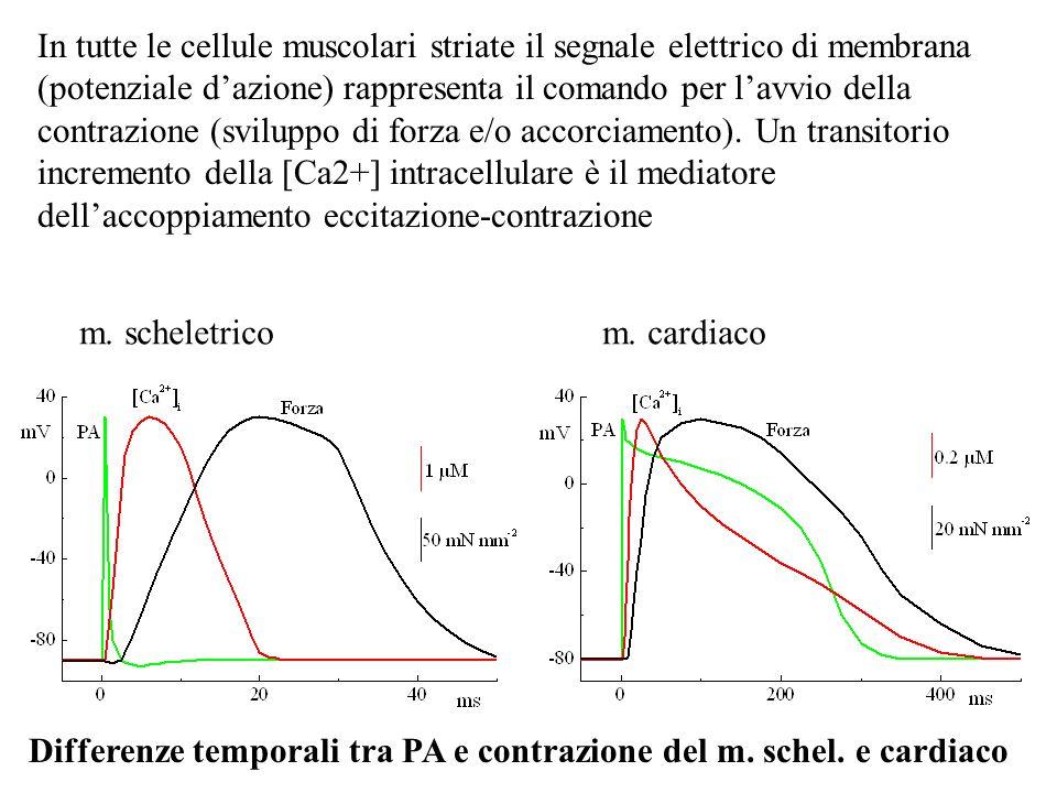In tutte le cellule muscolari striate il segnale elettrico di membrana (potenziale d'azione) rappresenta il comando per l'avvio della contrazione (sviluppo di forza e/o accorciamento). Un transitorio incremento della [Ca2+] intracellulare è il mediatore dell'accoppiamento eccitazione-contrazione